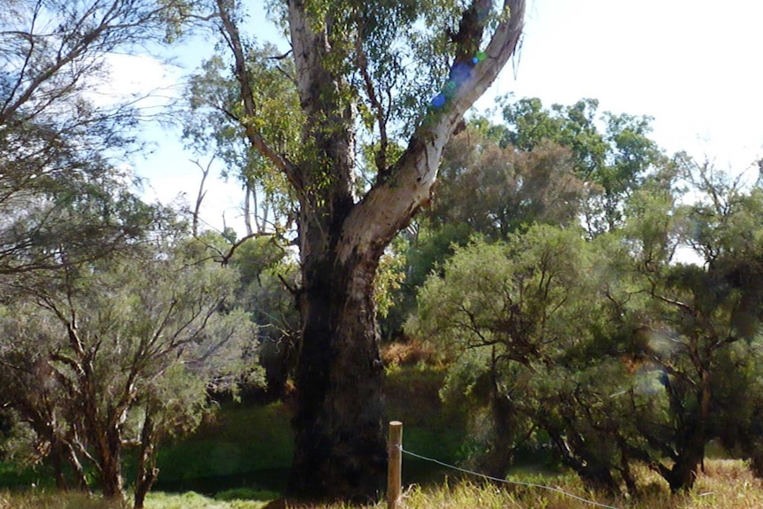 Heritage listed gum tree