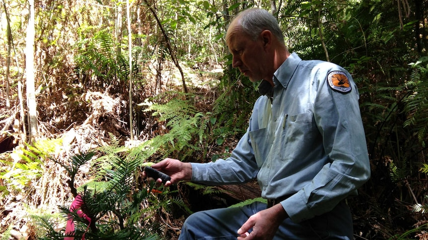 National Parks and Wildlife manager David Crust uses GPS to record the position of each Wollemi Pine.