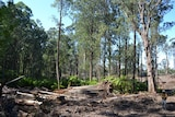 Rainforest logging at Mt Jersey, Victoria