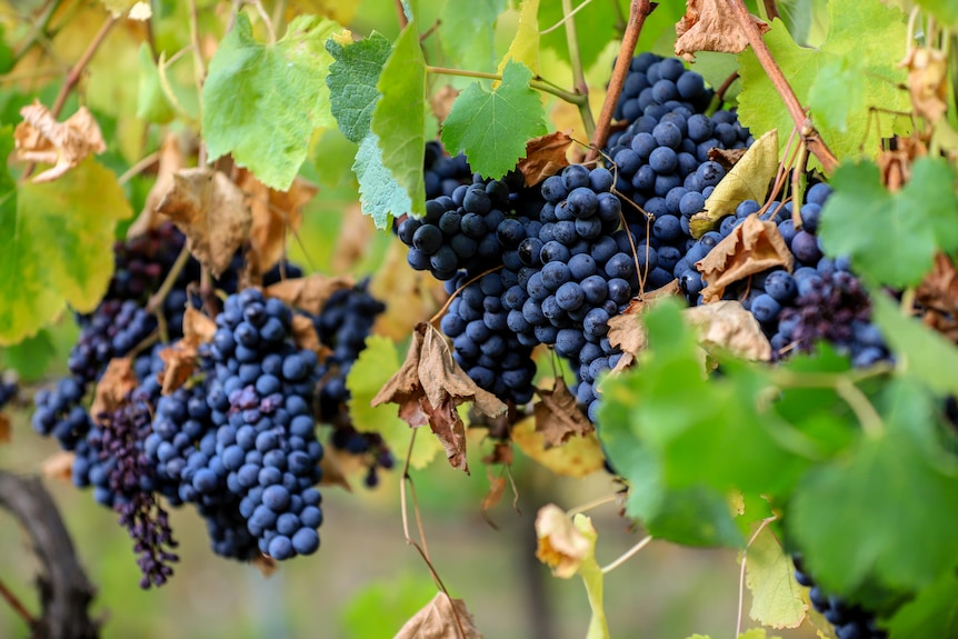 Bunches of deep blue grapes hang on green leafed vines