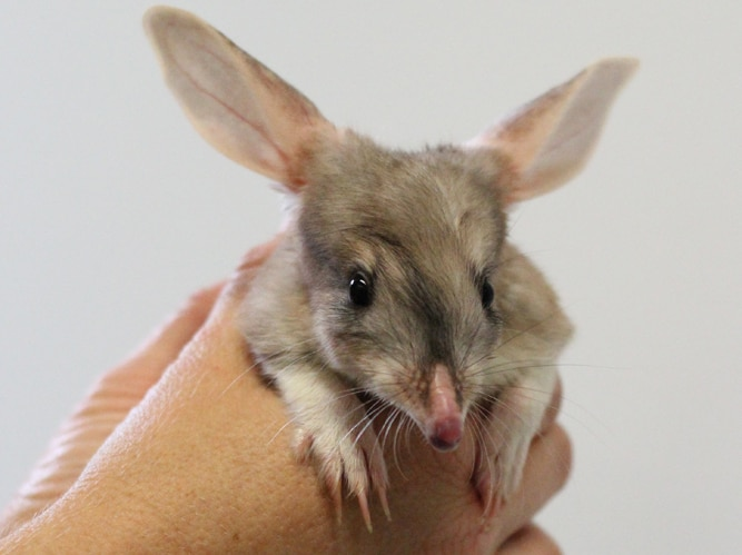 A bilby joey held in a keeper's hands at Currumbin Sanctuary