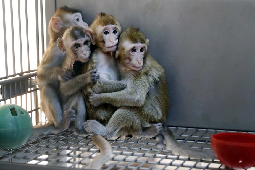 Four baby macaques are huddled together in a cage.