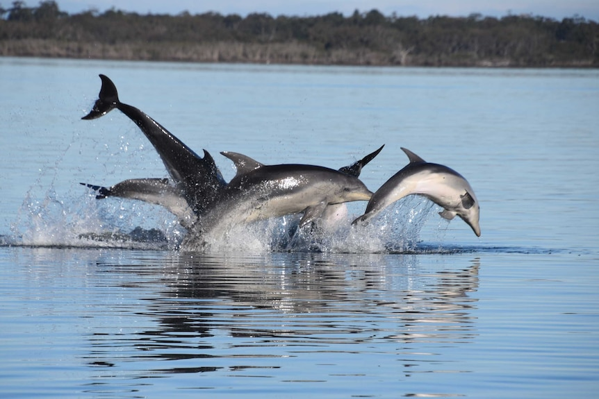 A pod of dolphins jump out of the water