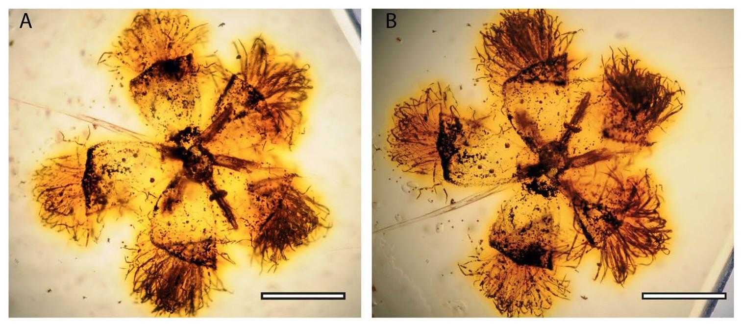 Icacinanthium tainiaphorum flower fossils.