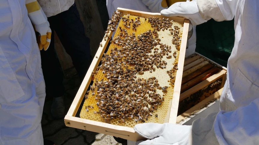 Three people are standing around a bee hive looking at thousands of bees collecting honey
