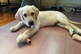 Doug the labrador lays on the floor with some food.