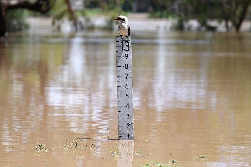 A kookaburra sits on a flood marker where the water sits just above 12 metres high