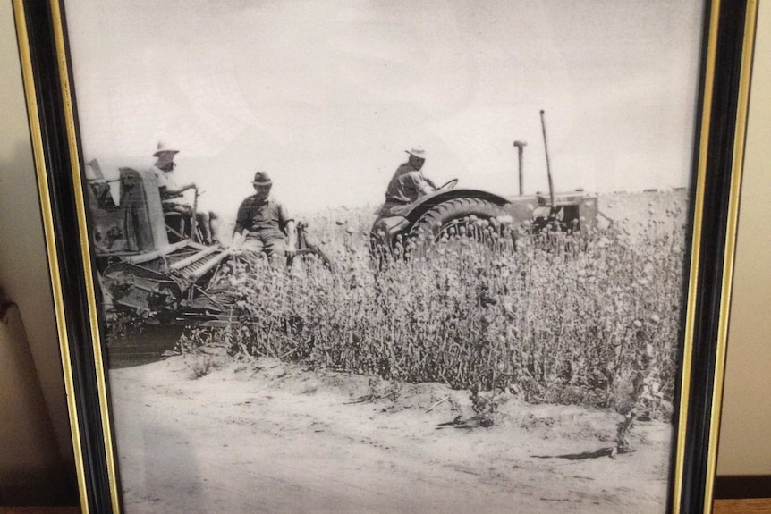 Photo of tractor harvesting poppies.