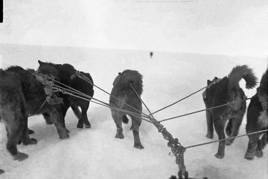 Husky dogs from the Australasian Antarctic Expedition