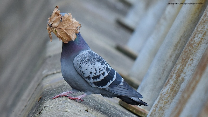 A pigeon takes a leaf to the face.