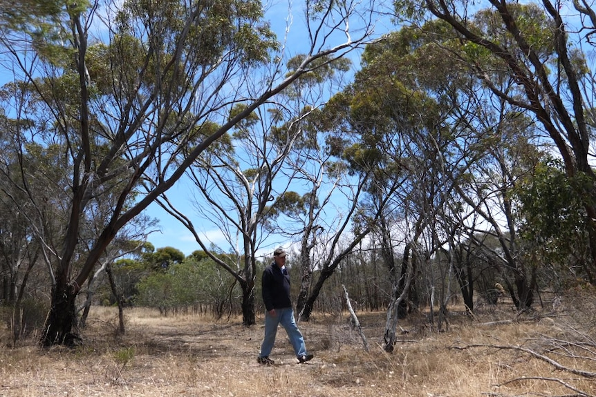 Man walking in bush with six metre trees, grassy surface