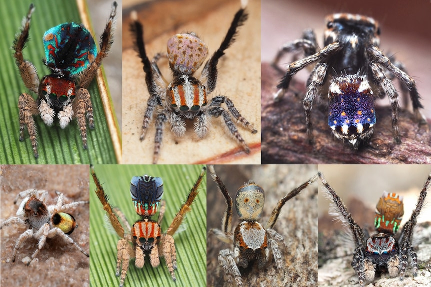 A collage showing the seven new species of Peacock Spiders that have been discovered in Australia.
