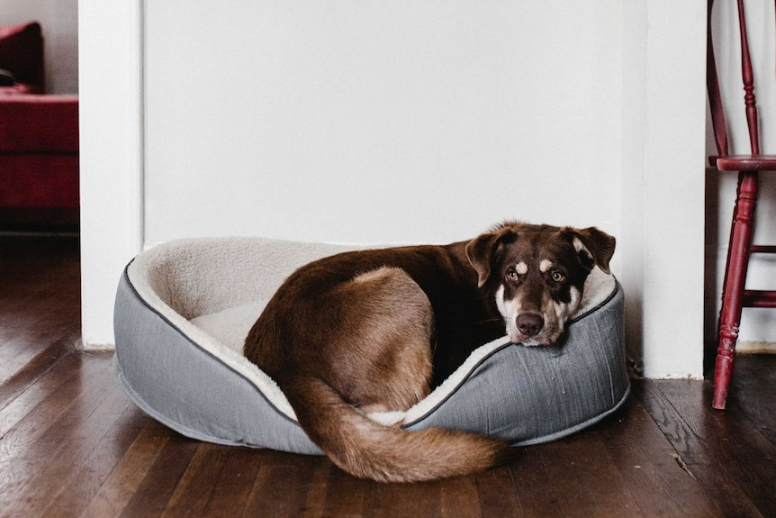 Dog in a dog bed inside a house