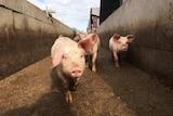 Young pigs at GD Porks Kojonup facility
