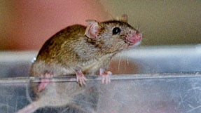 Mighty mouse: Altering a single gene can turn ordinary mice into marathon racers.