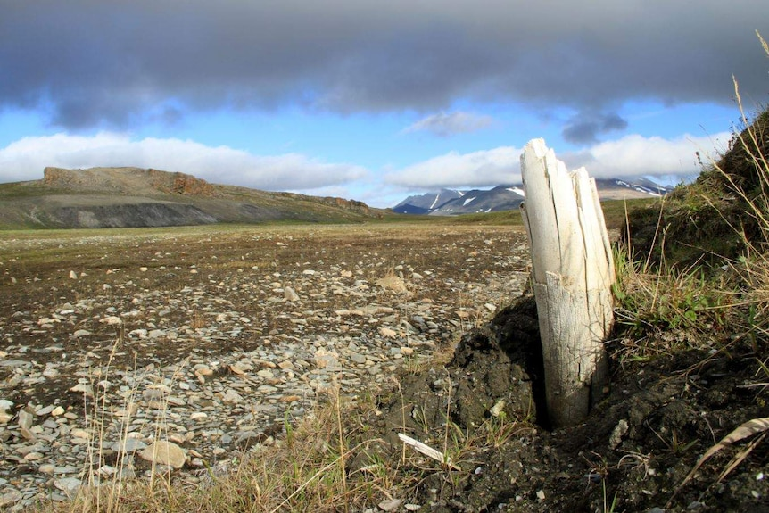 A white tusk poking out of the ground