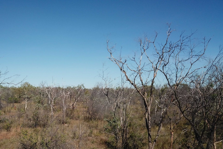 Dead trees on an NT pastoral station