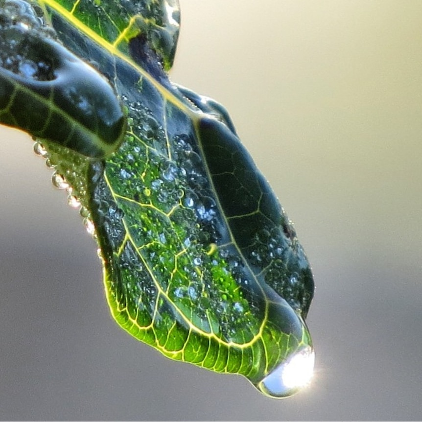 Drop of water on end of leaf