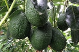 Ripe avocados hanging on a tree.