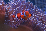Clownfish on the Great Barrier Reef