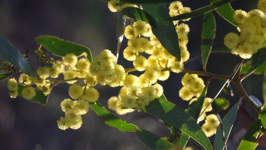 A wattle in flower