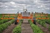 A bright orange ag robot moves through rows of cotton plants.