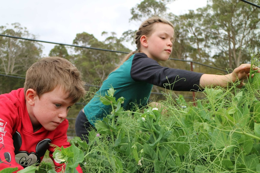two children lean over a crop of peas to pick their curly tendrils