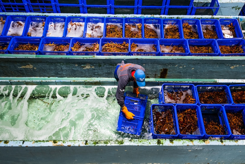 Worker in lobster processing plant in Hobart.