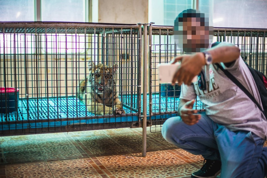 A tiger in a cage with a tourist (face blurred) taking a selfie.
