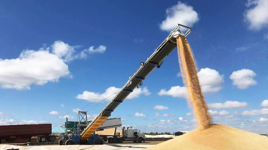 Grain pouring into a large pile at a grain receival site