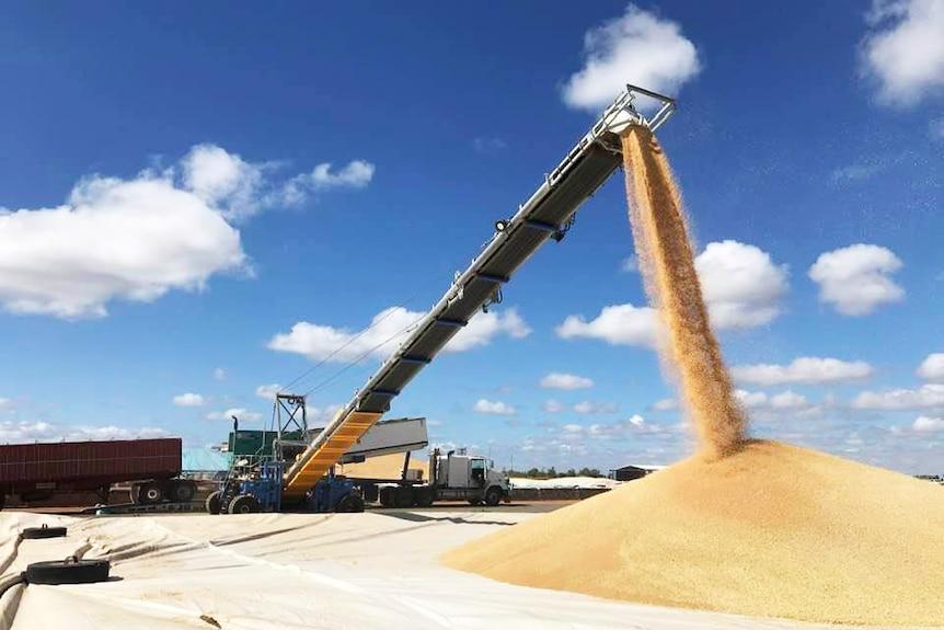 Grain pouring into a large pile at a grain receival site