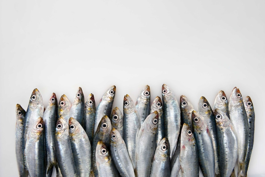 About 25 sardines lying across a white table.