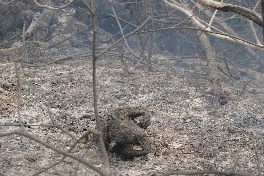 Tragic picture of the remains of a koala on burnt fire ground