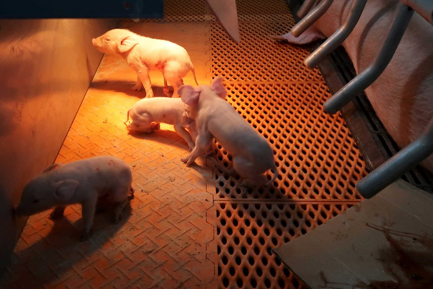 Piglets on a metal floor in a piggery in China.
