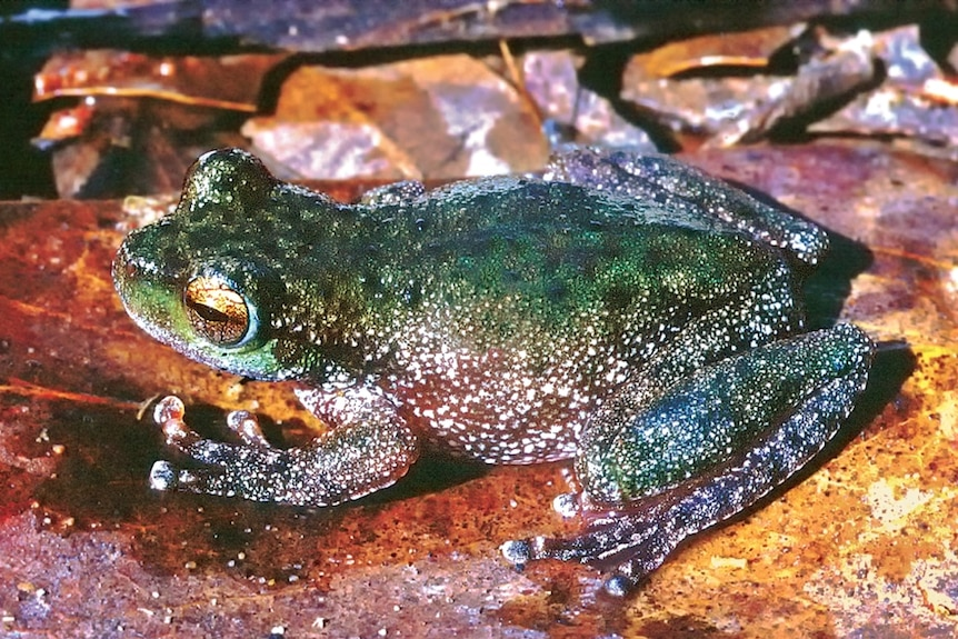A close-up image of a green frog on a rock.
