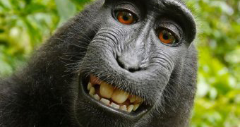 Female Celebes crested macaque takes a self portrait
