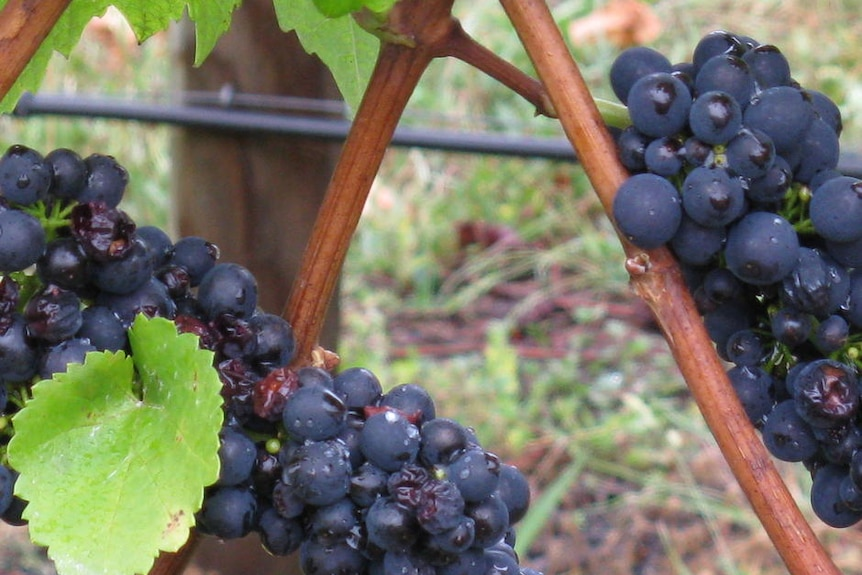 Cereal crops damaged, as were some grapes from heavy weekend rainfall