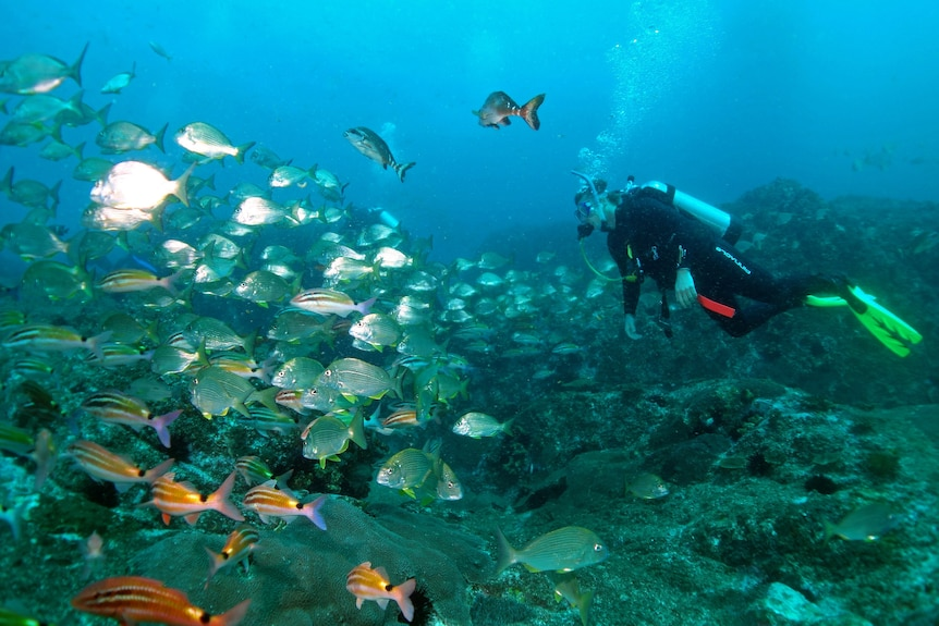 Underwater photo of a scuba diver following a school of orange and silver fishes