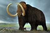A model of the woolly mammoth at the Royal BC Museum