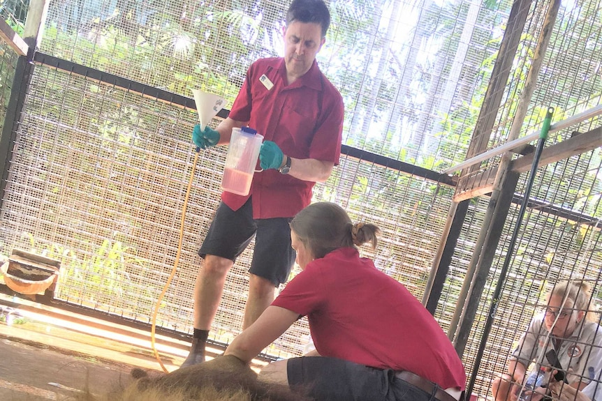 Vets administering enema on constipated Leo the lion in a cage at Crocodylus Park in Darwin