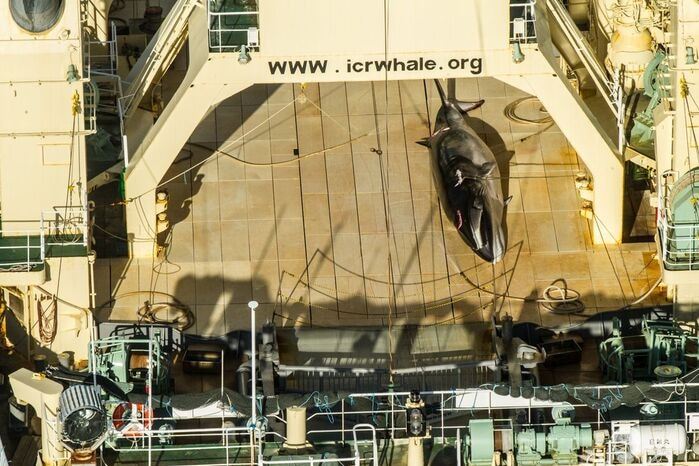 dead whale on deck of Ship