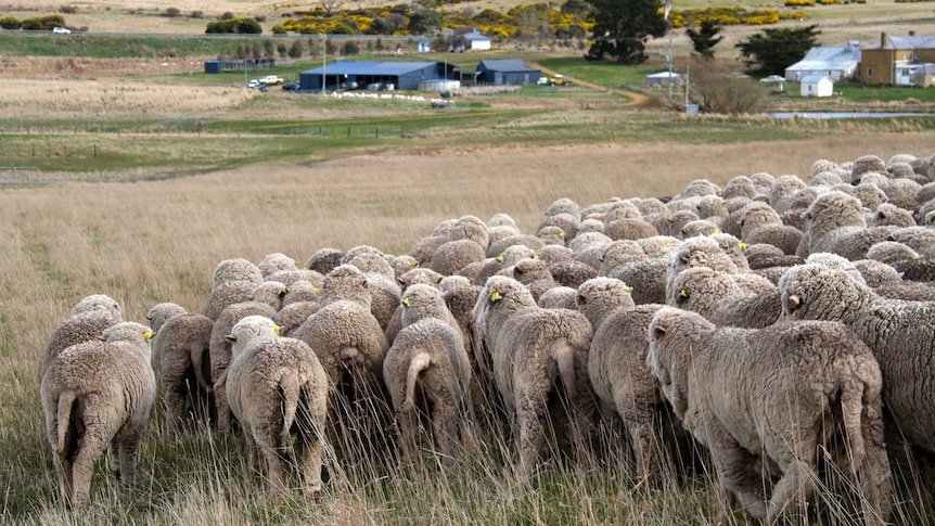 A herd of sheep with long tails wander a rural property