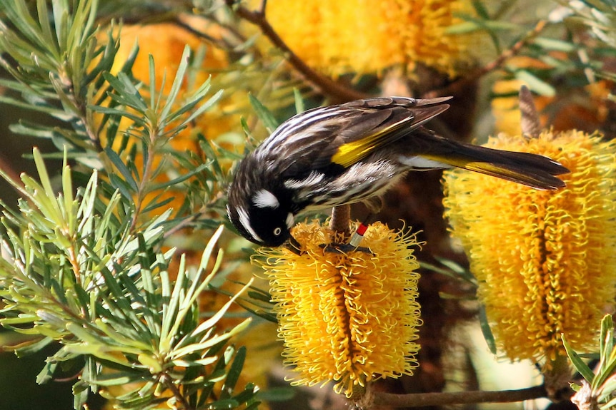 A New Holland Honeyeater feeds on a callistemon, commonly known as a bottlebrush in story about garden maintenance advice.