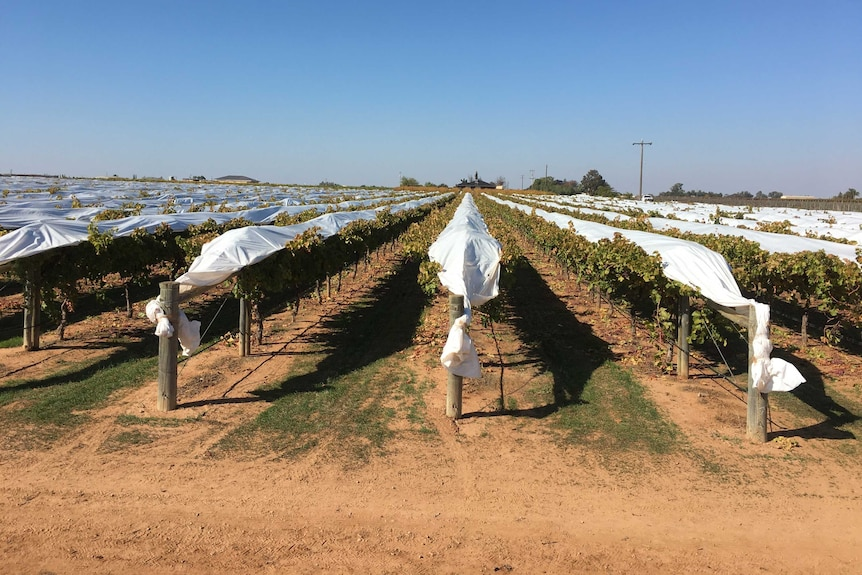 Plastic covers on table grape vines.