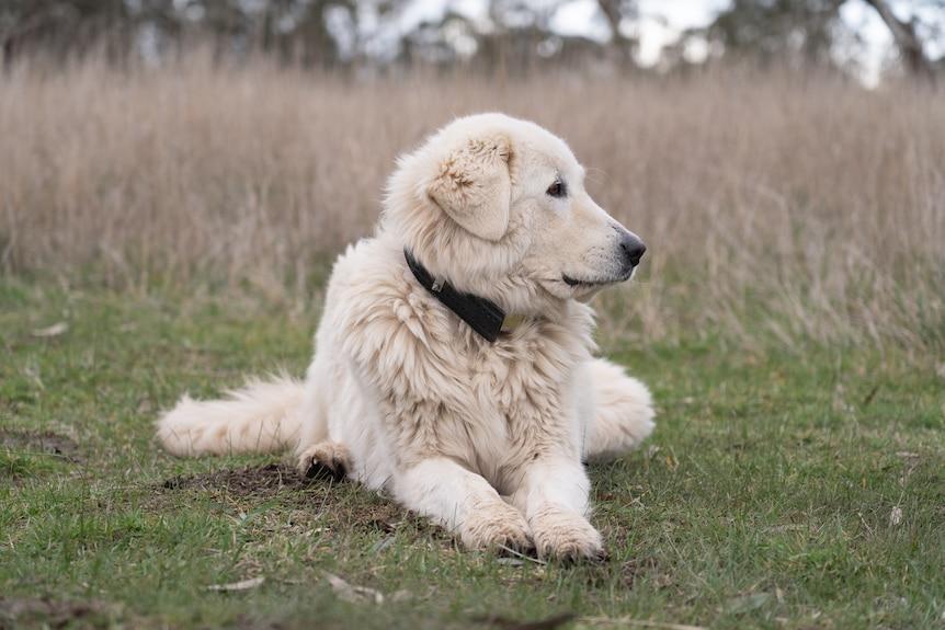 a mareema dog sits in a paddock