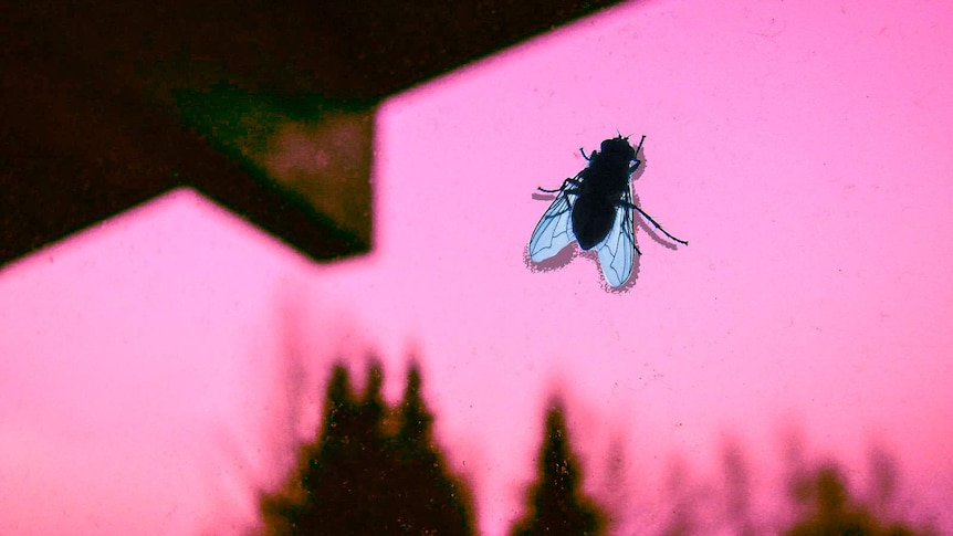 A blowfly silhouette on a window pane