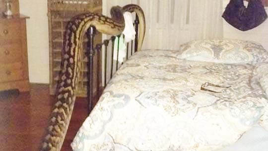 The carpet python was found at Ms Hibberd's north Queensland home at 4:30am Tuesday.