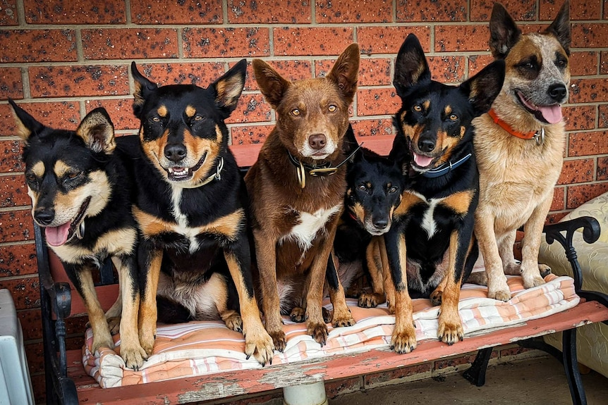 Six working dogs all sitting up on a bench in a row