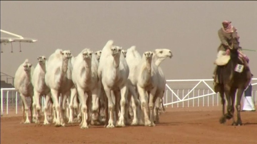 Botox use sees Saudi disqualifications from annual camel beauty contest.