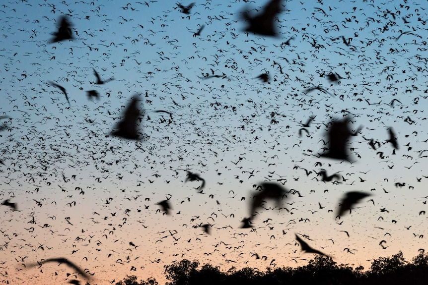 The silhouettes of hundreds of flying foxes fill the sky at dusk.